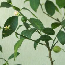 Комнатное растение: очиститель воздуха или причина аллергии? Эксперты – о том, какие цветы нельзя выращивать дома